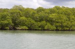 """Mangroves, which were depicted in the illustrations of """"Beba""""."""